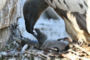 Cape Vulture Chick - (c)VulPro