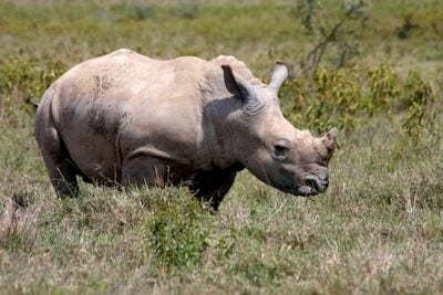 The Economics of Rhino Hunting/Poaching - Do We Legalise The Trade in Rhino Horn? – by Chris Mercer