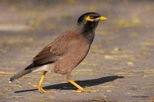 South Africa: Bird ringers, birders can help with studies on invasive species