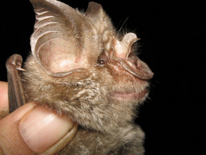 The Mozambican Horseshoe Bat (Rhinolophus mossambicus). Photo credit: Ara Monadjem