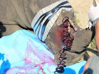South Africa: Chemical Treatment of Rhinoceros Horns