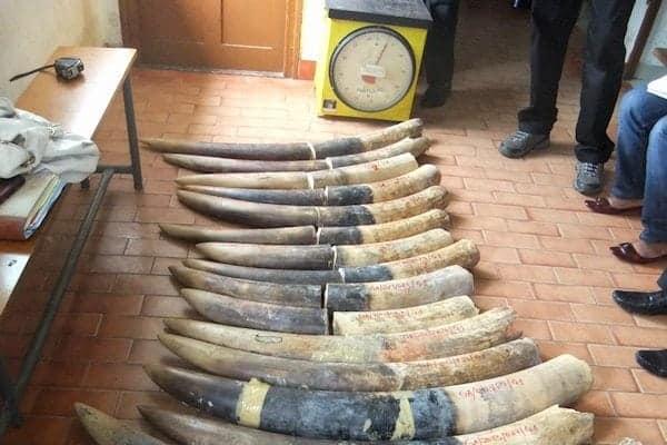 Gabon: AALF hits international ivory trafficking sea route