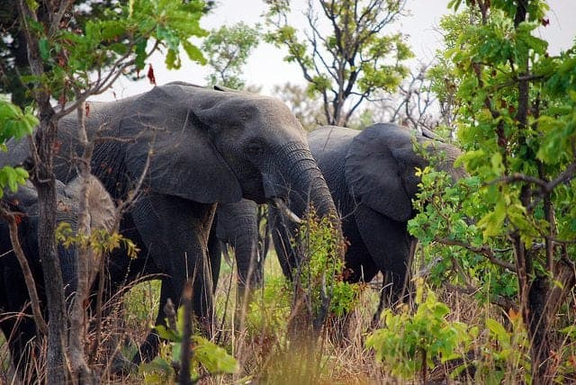 Congo Forests Need Elephants to Survive