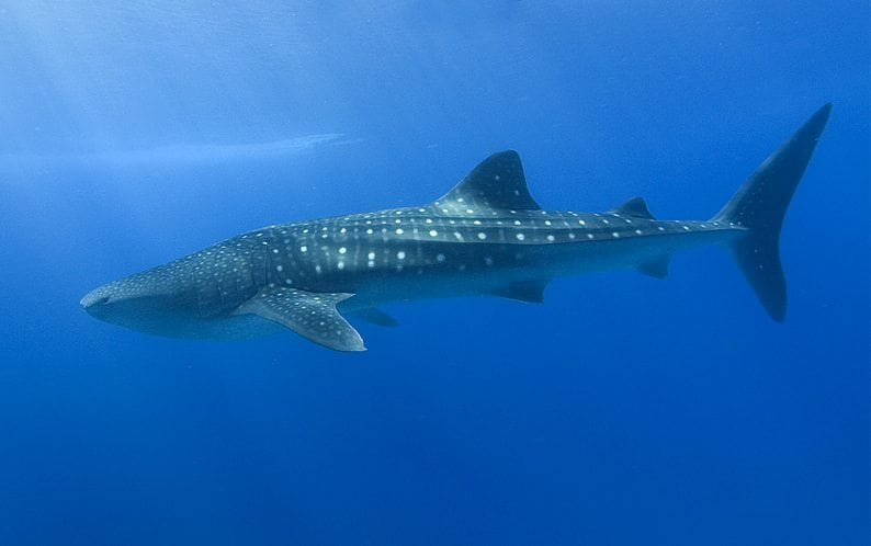 Kenya: Will showcasing captive whale sharks advance or hinder marine conservation efforts?