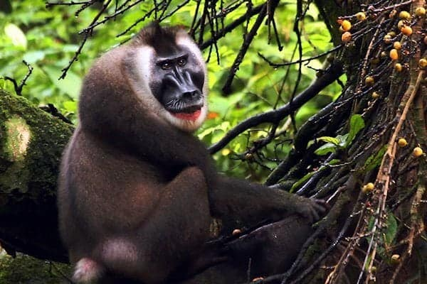 Conservation film featuring the endangered Drill Monkey and the illegal bushmeat trade told from a local perspective