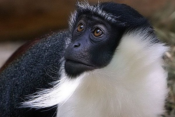 Critically Endangered Roloway Monkey Returns Home To Ghana
