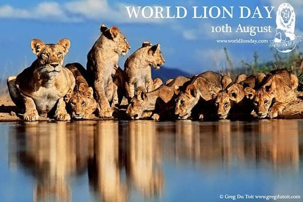 World Lion Day - 10th August 2013: Saving the King of Beasts to save ourselves