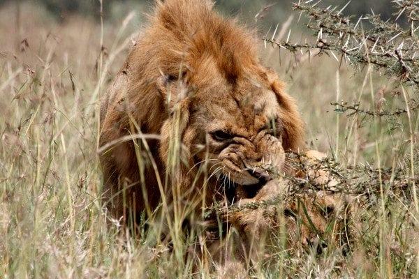 Lazy lion king? Remote sensing sheds light on lion male hunting behavior