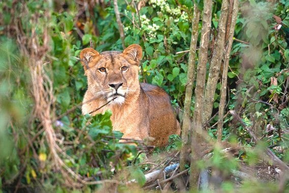 First film ever about newly discovered lions in montane rainforests of Ethiopia