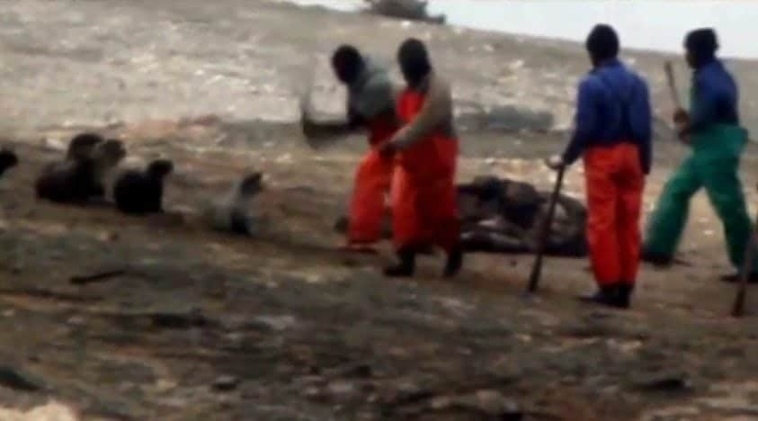 Shocking new footage of Namibia seal hunt