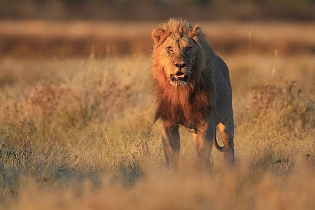 Conservation efforts might encourage Maasai to hunt lions