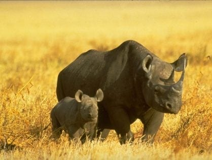 Poaching increases as South Africa pushes legal rhino horn trade