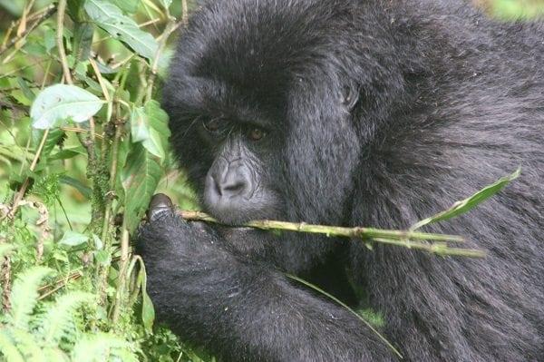 Virunga National Park Head Ranger in jail in Congo for opposing illegal construction work within park boundaries