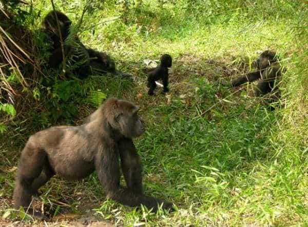 Reintroduced Gorillas Going Strong In Congo and Gabon