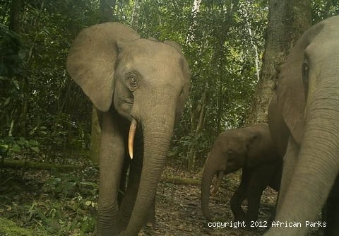 Healthy Elephant Numbers But Gorilla Decline Recorded At Odzala-Kokoua National Park In Congo