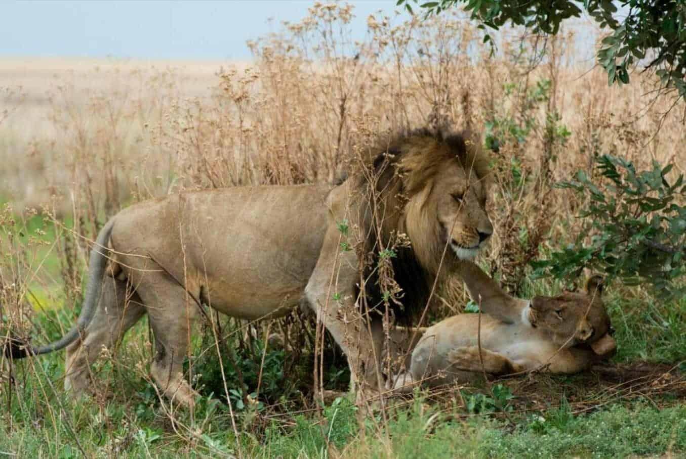 Lion Cubs Born in Liuwa Plain National Park in Zambia – A Major Milestone in Lion Restoration Programme