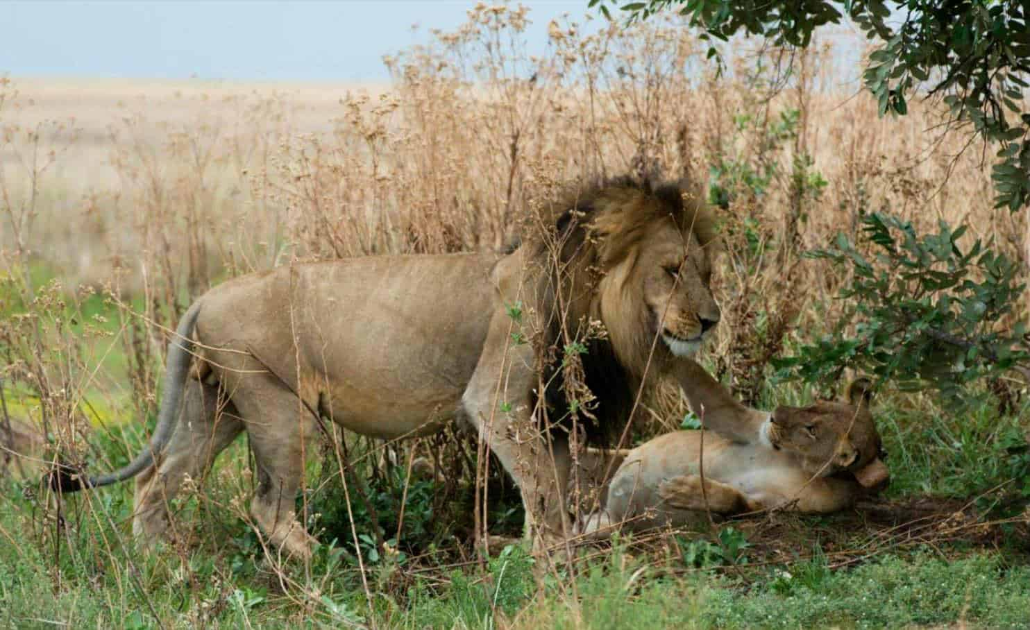 Lion Cubs Born in Liuwa Plain National Park in Zambia – A Major Milestone in Lion Restoration Programme