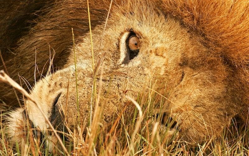 Global March for Lions – Sustainable Use has become Sustained Abuse