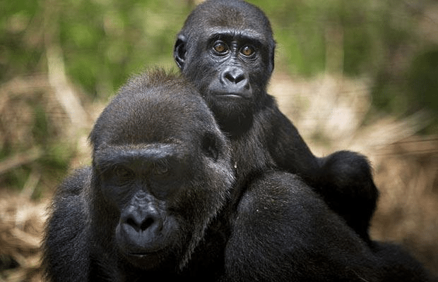 West African governments issue bans on bushmeat to control ebola