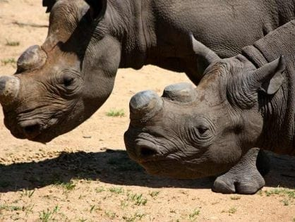 35 rhinos die from Blackquarter bacteria on mega rhino farm in South Africa