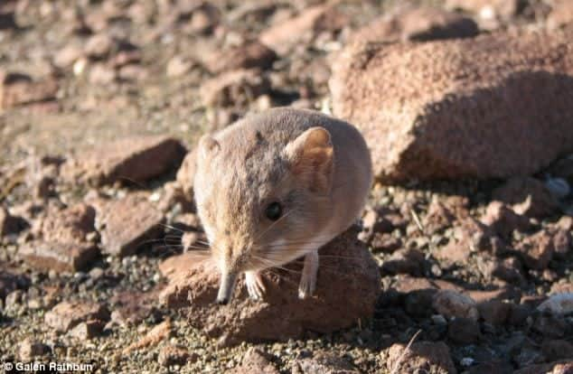 New Elephant Shrew Species Discovered in the Namibian Desert
