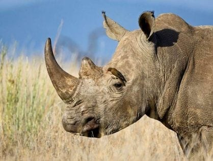 South Africa: Clarity needed on rhino conservation efforts at Kruger National Park