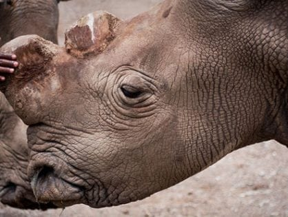 Northern white rhino death pushing subspecies closer to extinction