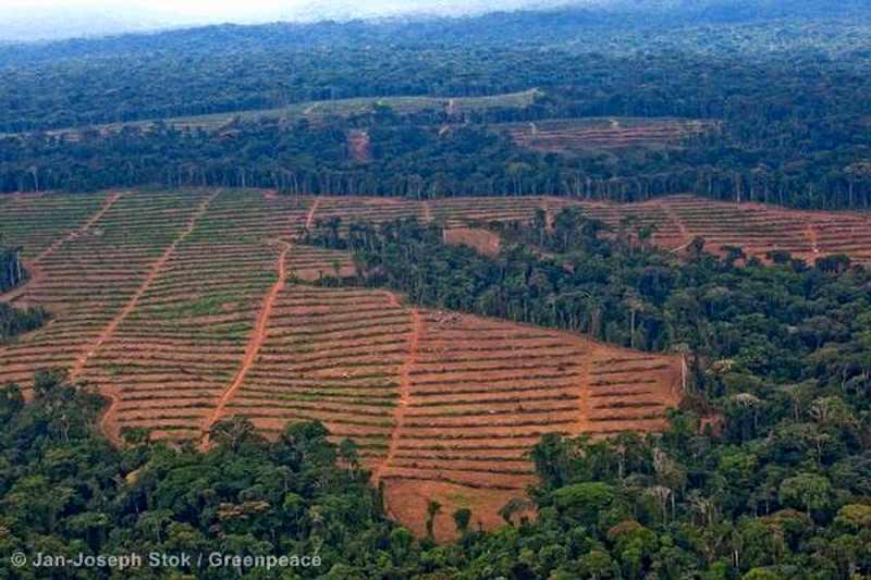 Oil Palm Nursery in Cameroon © Jan-Joseph Stok / Greenpeace