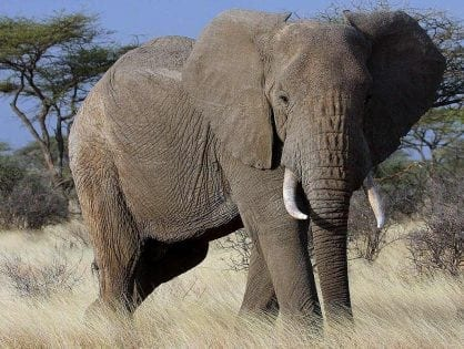 African elephant populations continue to decline due to steady poaching trends