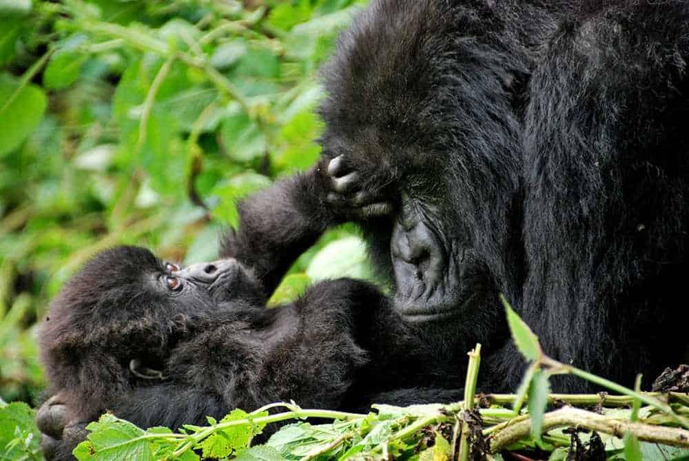 baby-mountain-gorilla.jpg