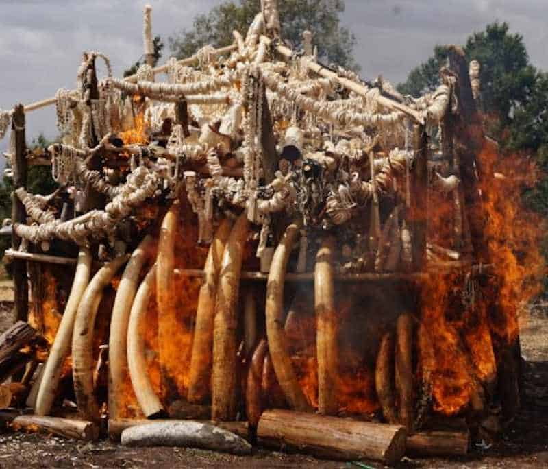 Congo Republic to burn seized ivory stockpile