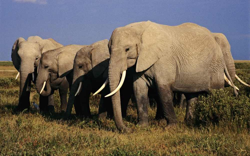 Leaked statistics confirm scale of Tanzania's elephant poaching crisis