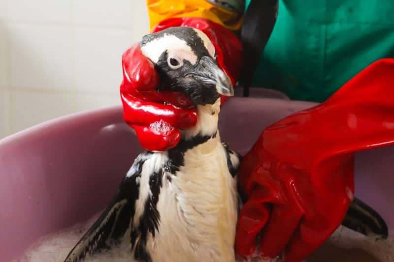 First group of rehabilitated penguins to be released after the recent mystery oil spill in the Eastern Cape, South Africa