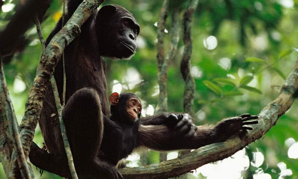 Wild Chimpanzee Mothers Teach Young To Use Tools, Video Study Confirms