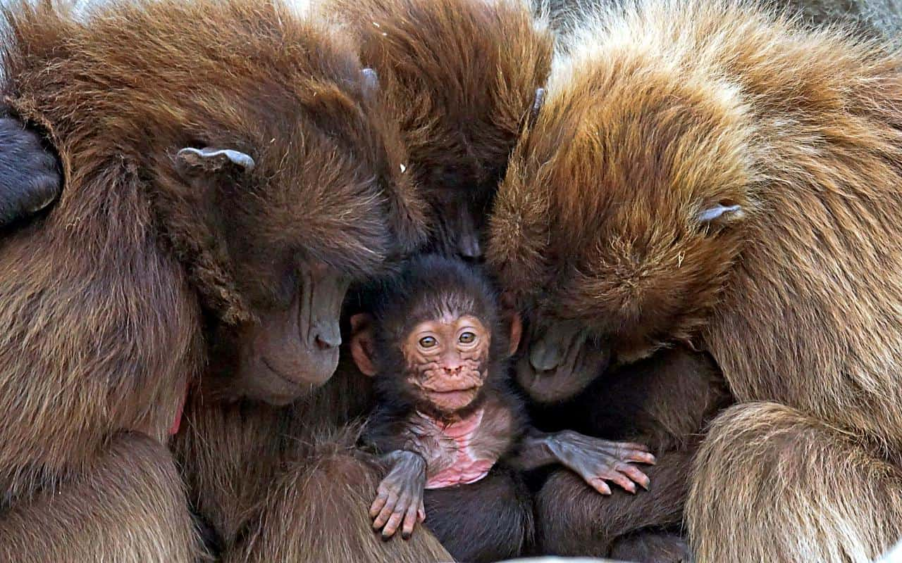 Impending extinction of the world's primates due to human activities; immediate global attention is needed to reverse the trend