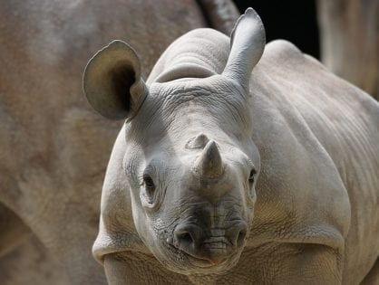 Conservation groups should remain resolute and say no to rhino horn trade