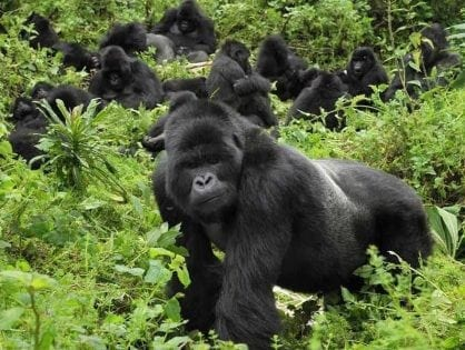 Raise of Rwanda Gorilla Trekking Permits a direct Boost for Gorilla Conservation?