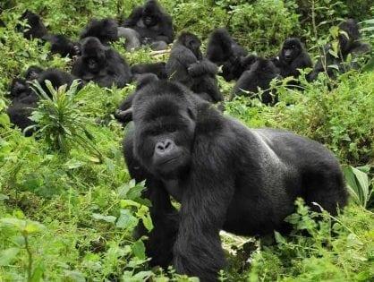 Raise of Rwanda Gorilla Trekking Permits a direct Boost for Gorilla Conservation?
