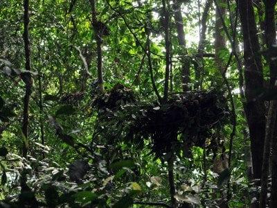 Chimp tree nest