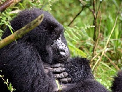 Are critically endangered mountain gorillas at risk from human disease?