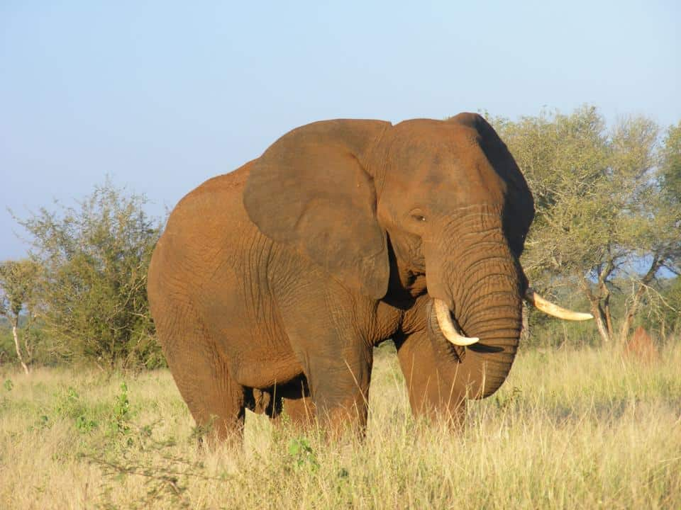 African elephant volunteer