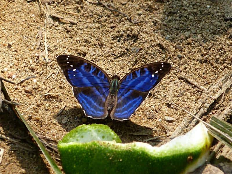 butterfly-cameroon-3