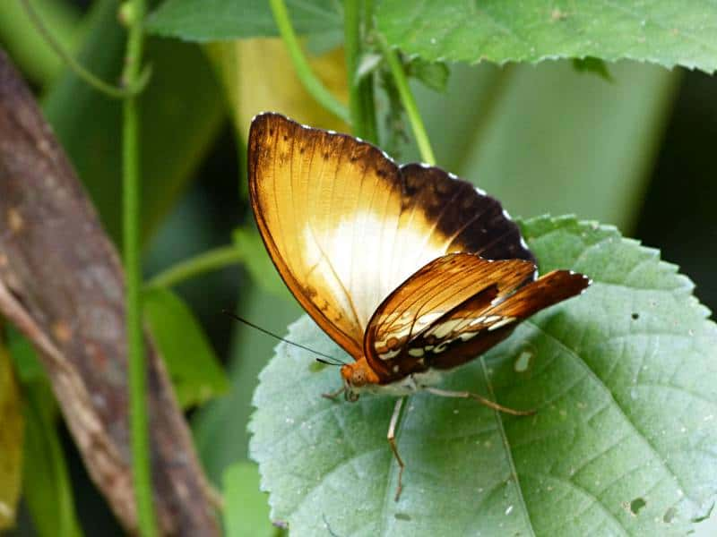 Tropical Butterfly Surveys and Conservation in the Rainforest