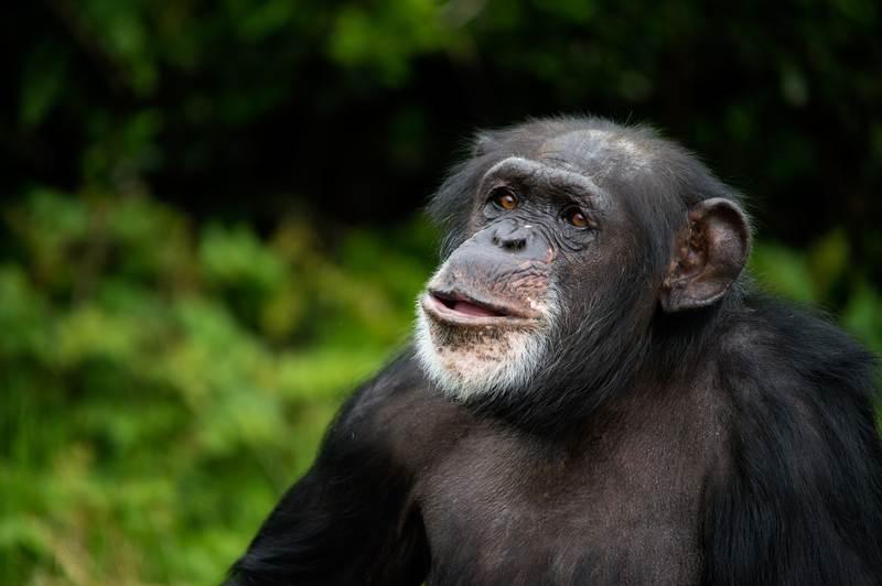 chimpanzee-kibale