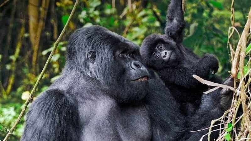 mountain-gorilla-playing-safari