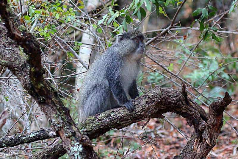 Help Save the Endangered Samango Monkey