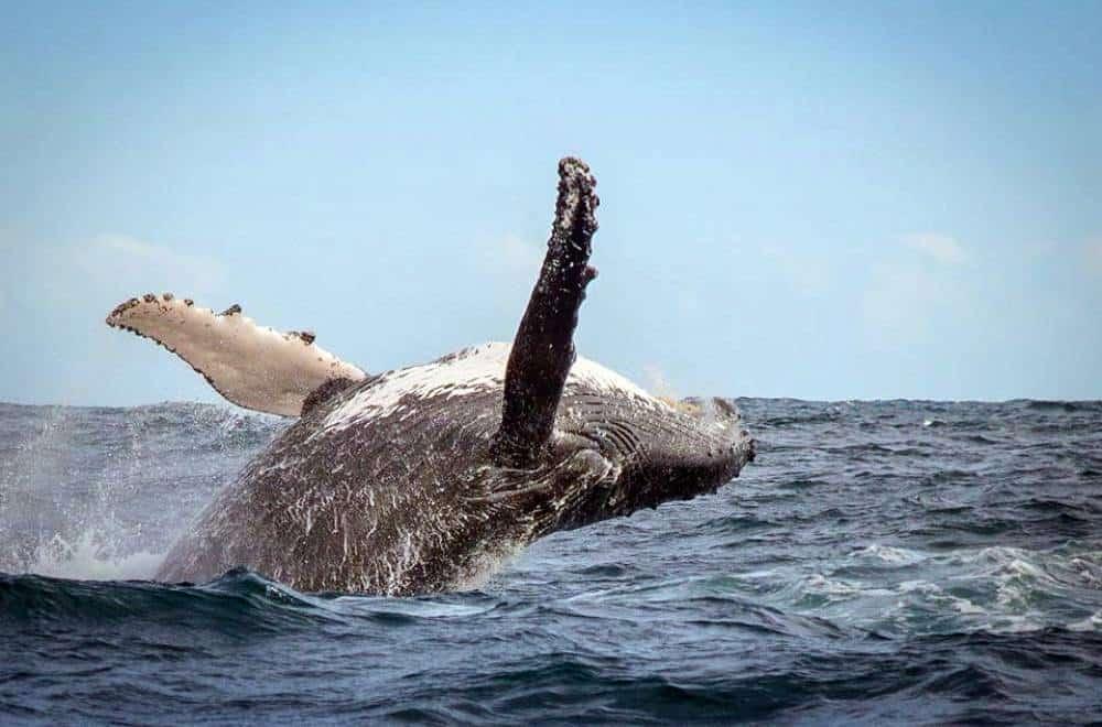 whale jump2
