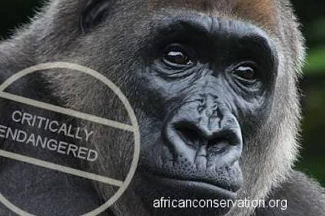 Saving Cross River Gorillas and Chimpanzees