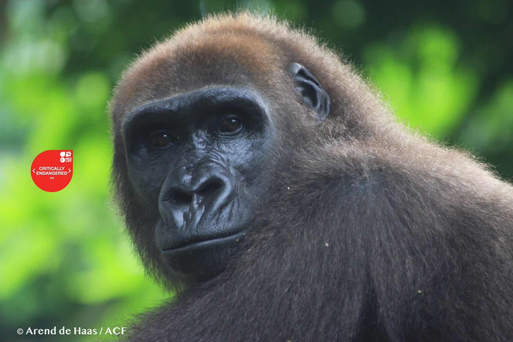 Saving Cross River Gorillas From Extinction