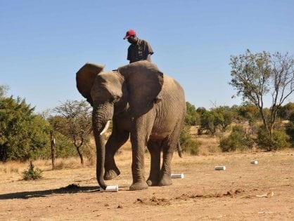 How African elephants' amazing sense of smell could save lives